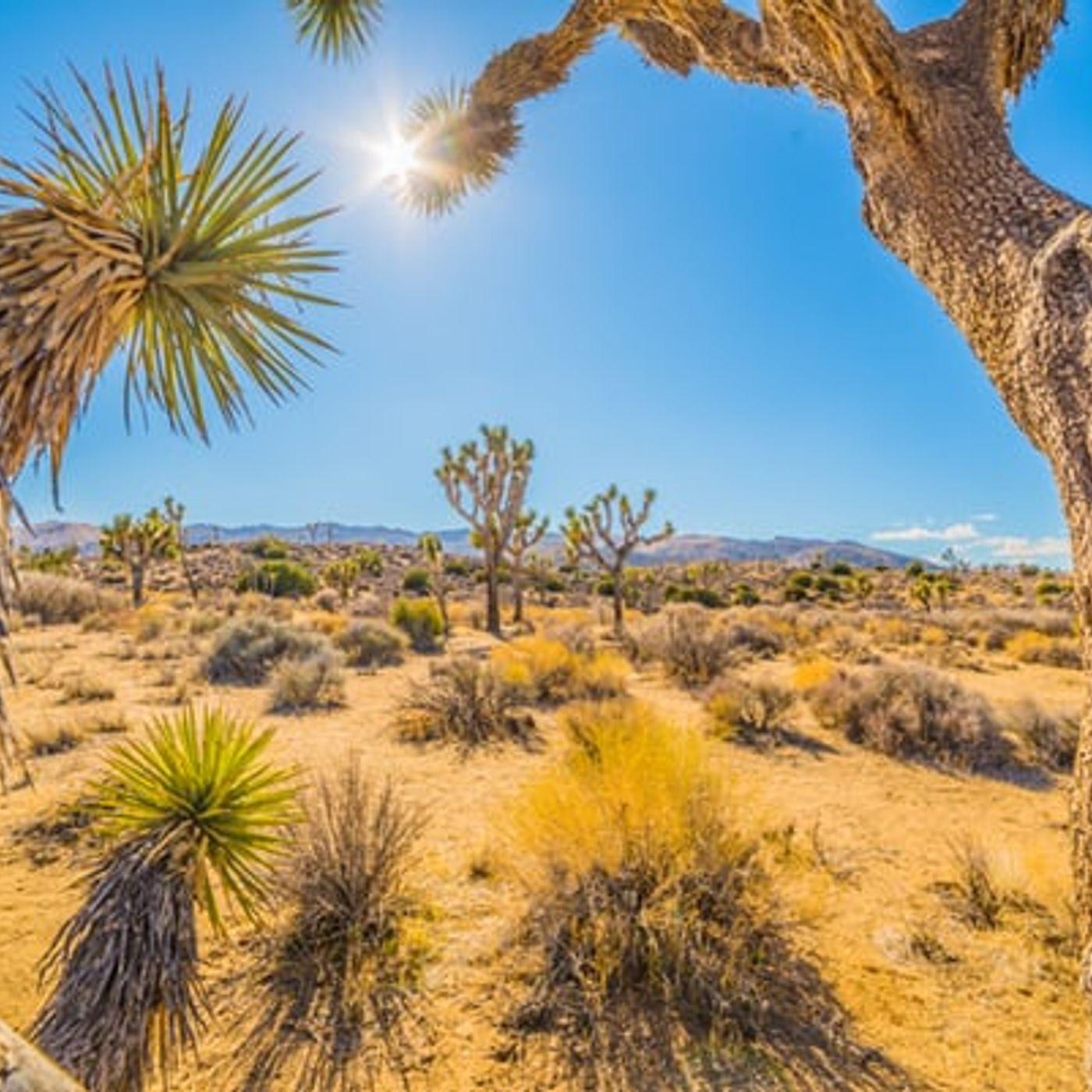 July 8  I Saw A Yellow Desert Bush Today
