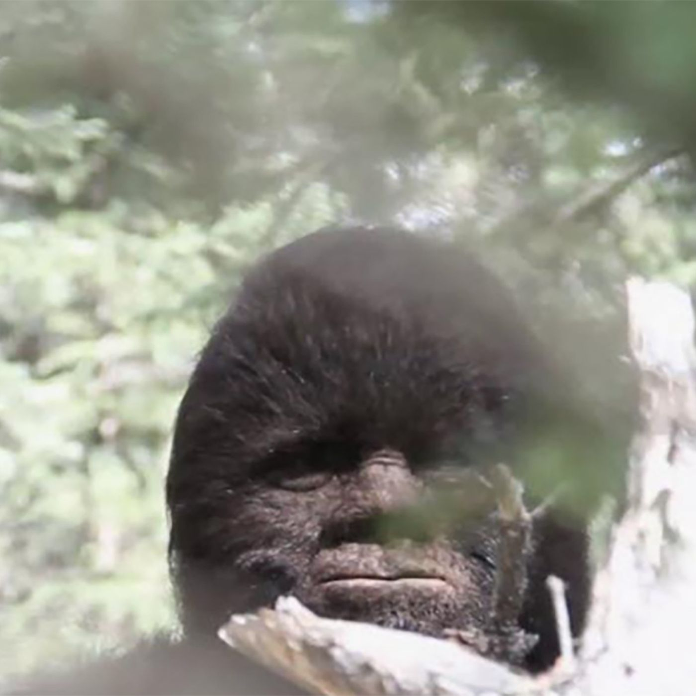 Sasquatch is Real!