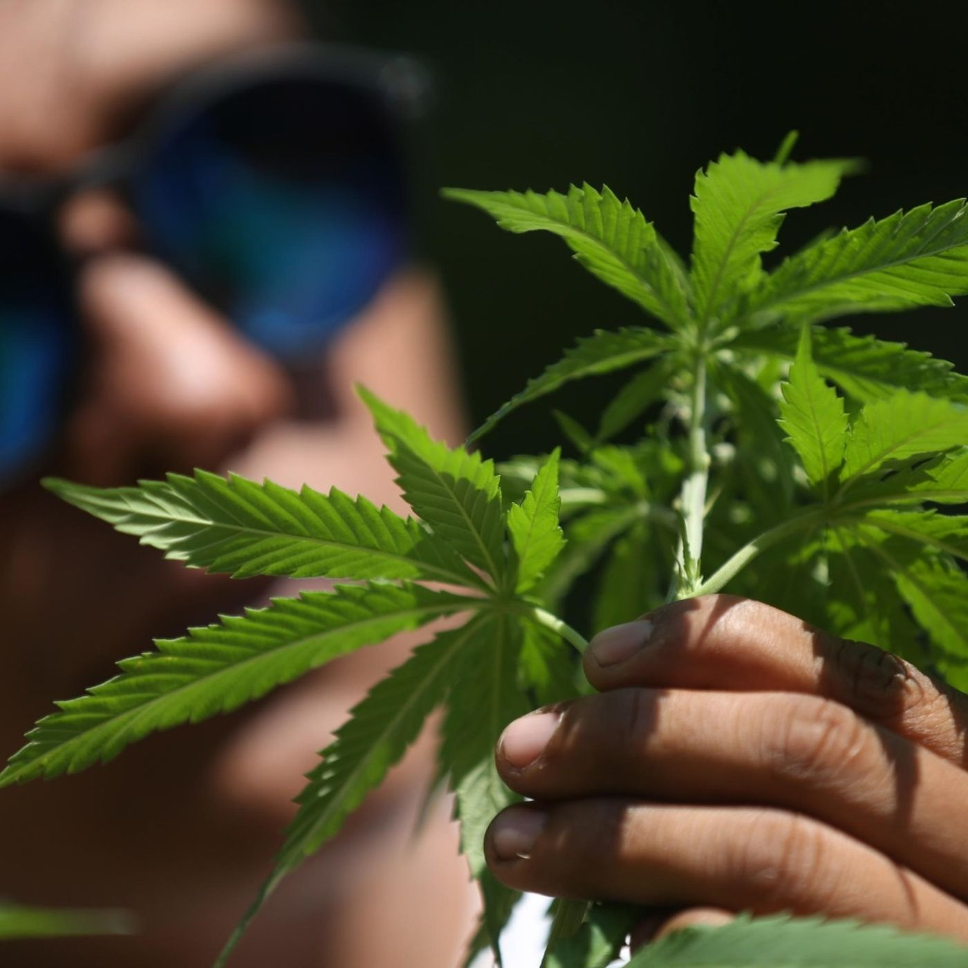 Gli stupefacenti risvolti del referendum sulla cannabis
