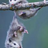 Buongiorno in connessione all'opossum!