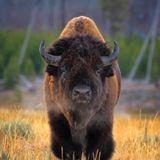 Buongiorno in connessione al bisonte, preghiera e abbondanza!