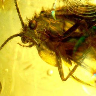 Ambar con insecto introducido por el hombre