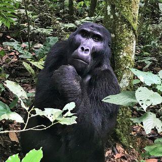 Uganda - Goril Yürüyüşü