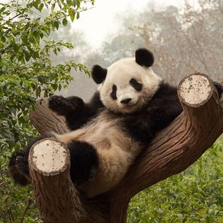 Io tifo ninja panda