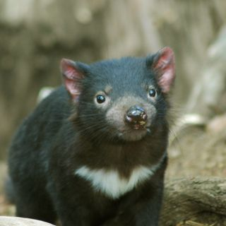 Youth Radio - Endangered Marsupial Tasmanian Devil