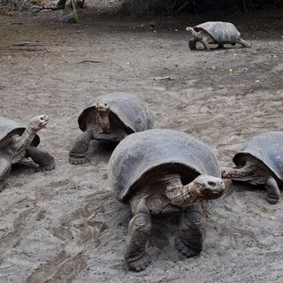 Voluntourism and Galapagos Islands Conservation Practices: The Need for Caution