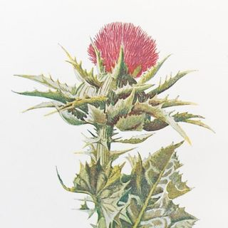 Show 28: Thistles and Their Medicinal Uses