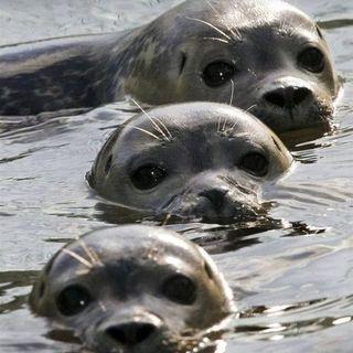 Poema - Mamiferos aquáticos em extinção na Amazõnia