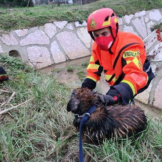 Due cani feriti (e una nutria) intrappolati nel canale di scolo: salvati dai pompieri