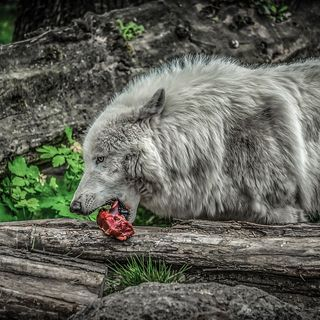 Il cane con la carne in bocca