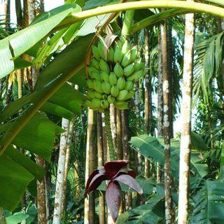 Healthy Super Food Green Bananas