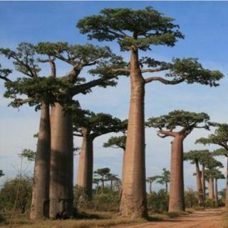A criação do baobá