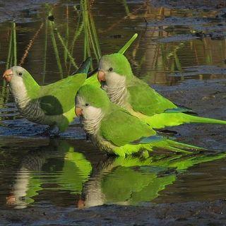 Cotorras y su impacto sobre la fauna urbana | Diario de un ecólogo #024
