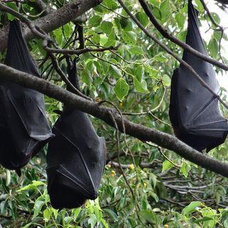Percepción humana de los murciélagos, con Fulgencio Lisón   Oikos #28