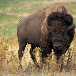 Dave Carter - American Bison Association