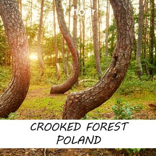 Crooked Forest Poland | 1 hour FOREST Sound Podcast | White Noise | ASMR sounds for deep Sleep | Relax | Meditation | Colicky