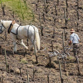 """Trattori meccanici? No grazie. E i cavalli diventano """"medici"""" del suolo"""
