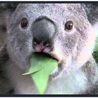 13 - I koala potrebbero metterci nei guai