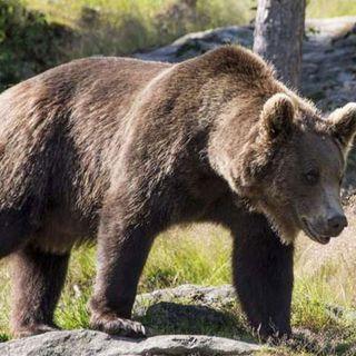 Al via monitoraggio genetico dell'orso nel Nord-Est