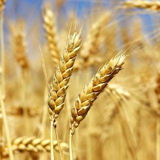 Lectio 22-3-2019 - Il chicco di grano
