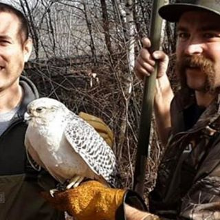 Falcon, Falconer Both Being Treated After Westborough Rescue