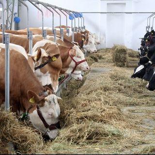In Francia telecamere in tutti i mattatoi dopo report shock degli animalisti