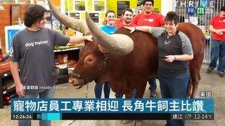 """13:37 非洲長角牛""""踢館"""" 寵物店專業獲好評 ( 2019-03-24 )"""
