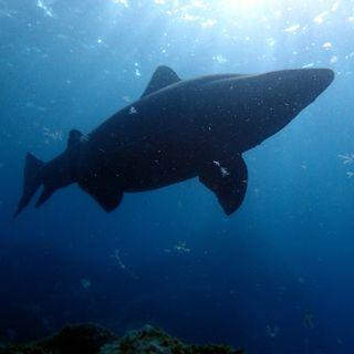 Los secretos del tiburón solrayo | Planeta Agua #16