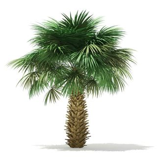 Make your House Look Aesthetically Beautiful With Sabal Palm in South Carolina
