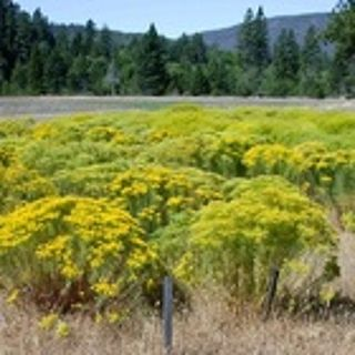 Podcast: Mining An Invasive Wildflower, Hunting in Idaho and more http://earthfix.us/pod1002