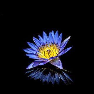 Il loto egizio, il fiore all'origine del mondo