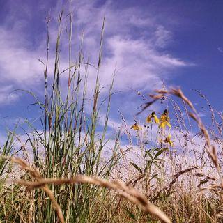Episode 13: Native Prarie, Switchgrass, Establishment