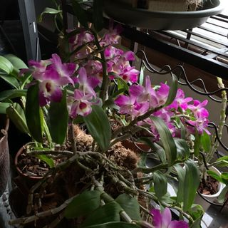 Episode 11 - Orchid Chat With Dr Connors
