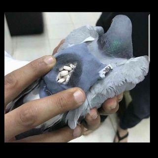Detienen a paloma que traía drogas en su mochilita...