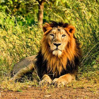 Il leone asiatico