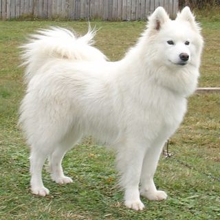 Tìm Hiểu Về Giống Chó Samoyed   Tính Các