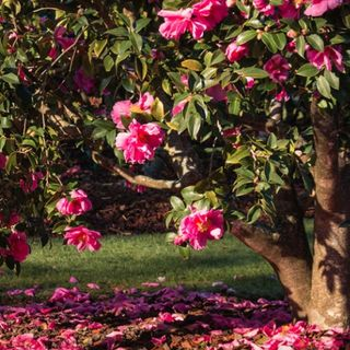The Camellia Trail Driving Tour Audio Guide