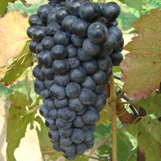 Ep 261: The Grape Miniseries - Petite Sirah