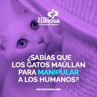 ¿Sabías que los gatos maúllan para manipular a los humanos? • Curiosidades - Culturizando