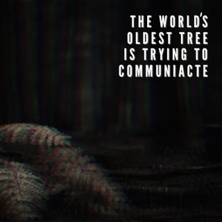 The World's Oldest Tree Is Trying To Communicate Ep. 5