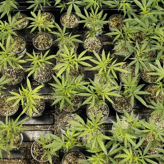 AF Times: VA & Study Use Of Cannibas For PTSD