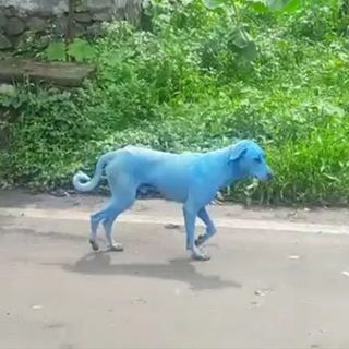 Que Bonito: Perros de color azul en la India