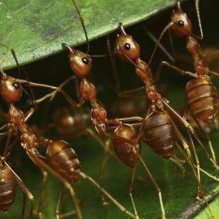 Las Hormigas.  Biología. Tras las Huellas de la Naturaleza.