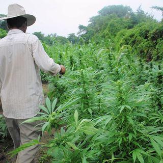 La Marihuana en México