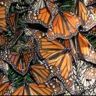 Chip Taylor, Monarch Butterflies