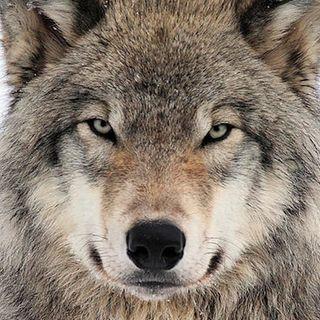 #vr La Pasqua dei lupi