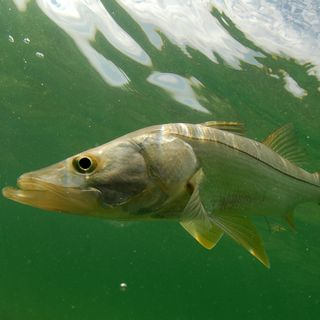 Snook Release