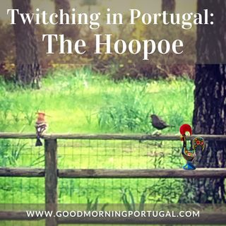 Portugal news, weather & today: twitching for hoopoes