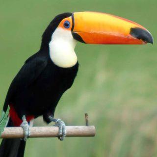 Tras Las Huellas. El Tucán,  un ave monógama.