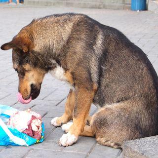 Feeding Dog Raw Diet  (BARF) On A Budget -Episode 19